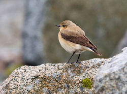 Wheatear photographed at Pulias [PUL] on 28/4/2012. Photo: © Derek Bridel