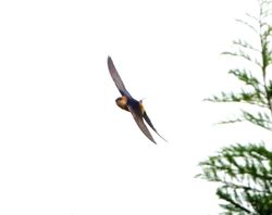 Red-rumped Swallow photographed at Rue des Bergers [BER] on 29/4/2012. Photo: © Mark Guppy