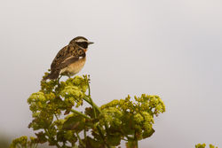 Whinchat photographed at Fort Hommet [HOM] on 30/4/2012. Photo: © Rod Ferbrache