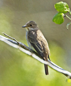 Spotted Flycatcher photographed at Lihou Headland [LCH] on 1/5/2012. Photo: © Mike Cunningham