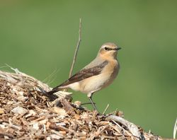 Wheatear photographed at Pleinmont [PLE] on 1/5/2012. Photo: © Karen Jehan