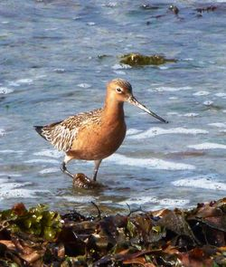 Bar-tailed Godwit photographed at Shingle Bank [SHI] on 2/5/2012. Photo: © Mark Guppy
