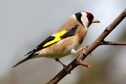 Goldfinch photographed at Bas Capelles [BAS] on 2/5/2012. Photo: © Rod Ferbrache