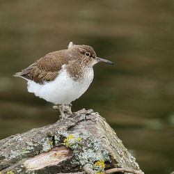 Common Sandpiper photographed at Grands Marais/Pre [PRE] on 3/5/2012. Photo: © Adrian Gidney