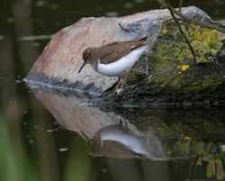 Common Sandpiper photographed at Grands Marais/Pre [PRE] on 2/5/2012. Photo: © Vic Froome