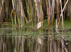 Sedge Warbler photographed at Grands Marais/Pre [PRE] on 2/5/2012. Photo: © Vic Froome