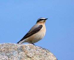Wheatear photographed at Prevote [PRV] on 3/5/2012. Photo: © Mark Guppy