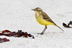 Yellow Wagtail photographed at Jaonneuse [JAO] on 3/5/2012. Photo: © Chris Bale