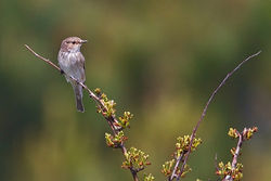 Spotted Flycatcher photographed at Pleinmont [PLE] on 2/5/2012. Photo: © Chris Bale