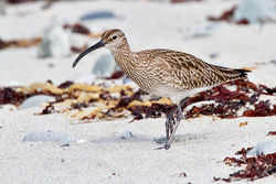 Whimbrel photographed at Jaonneuse [JAO] on 3/5/2012. Photo: © Chris Bale