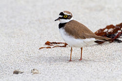 Little Ringed Plover photographed at Jaonneuse [JAO] on 3/5/2012. Photo: © Chris Bale