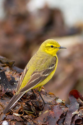 Yellow Wagtail photographed at Pulias [PUL] on 7/5/2012. Photo: © Rod Ferbrache