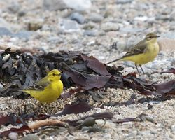 Yellow Wagtail photographed at Rousse [ROU] on 9/5/2012. Photo: © Cindy  Carre