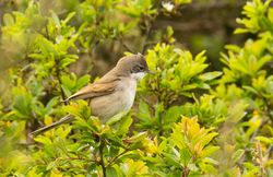 Whitethroat photographed at Pleinmont [PLE] on 8/5/2012. Photo: © Anthony Loaring