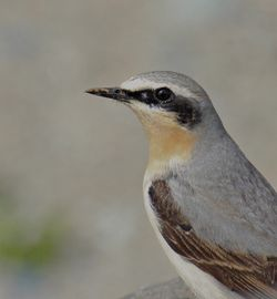 Wheatear photographed at L'Eree [LER] on 8/5/2012. Photo: © Simon Murfitt