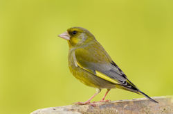 Greenfinch photographed at Bas Capelles [BAS] on 24/4/2012. Photo: © Rod Ferbrache