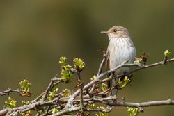 Spotted Flycatcher photographed at Pleinmont [PLE] on 11/5/2012. Photo: © Rod Ferbrache