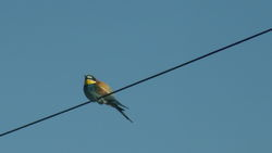 Bee-eater photographed at Pleinmont on 12/5/2012. Photo: © Rose Le Feuvre