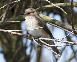 Spotted Flycatcher photographed at Pulias [PUL] on 13/5/2012. Photo: © Cindy  Carre