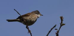 Whitethroat photographed at Bordeaux [BOR] on 13/5/2012. Photo: © Paul Bretel