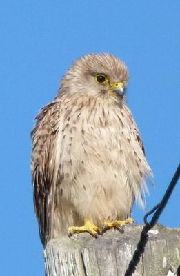 Kestrel photographed at Les Vicheris [VI3] on 13/5/2012. Photo: © Mark Guppy
