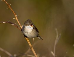 Whitethroat photographed at Fort Doyle [DOY] on 13/5/2012. Photo: © Allan Phillips
