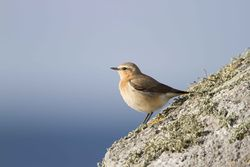 Wheatear photographed at L'Eree [LER] on 12/5/2012. Photo: © Allan Phillips