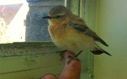 Wheatear photographed at St Sampsons on 14/5/2012. Photo: © David Du jardin