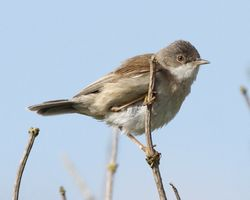 Whitethroat photographed at Pleinmont [PLE] on 14/5/2012. Photo: © Cindy  Carre