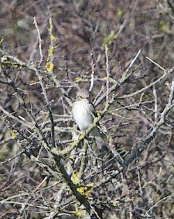 Spotted Flycatcher photographed at Pleinmont [PLE] on 15/5/2012. Photo: © Royston Carr�
