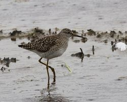 Wood Sandpiper photographed at Claire Mare [CLA] on 18/5/2012. Photo: © Cindy  Carre