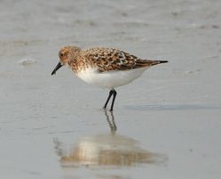 Sanderling photographed at Jaonneuse [JAO] on 21/5/2012. Photo: © Karen Jehan