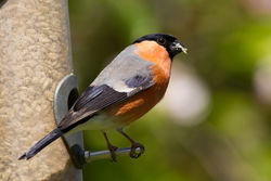 Bullfinch photographed at Bas Capelles [BAS] on 23/5/2012. Photo: © Rod Ferbrache