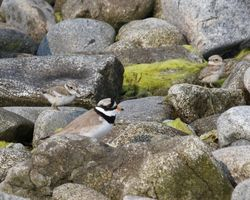 Ringed Plover photographed at Select location on 25/5/2012. Photo: © Cindy  Carre