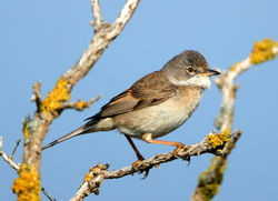 Whitethroat photographed at Pleinmont [PLE] on 24/5/2012. Photo: © Mike Cunningham