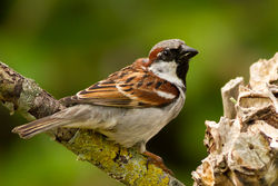 House Sparrow photographed at Bas Capelles [BAS] on 26/5/2012. Photo: © Rod Ferbrache
