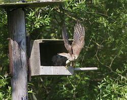 Kestrel photographed at Rue des Bergers [BER] on 27/5/2012. Photo: © Royston Carr�