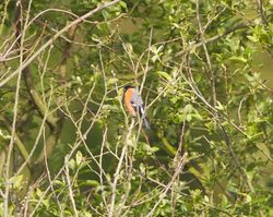 Bullfinch photographed at Rue des Bergers [BER] on 27/5/2012. Photo: © Royston Carr�