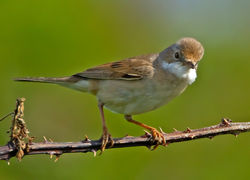 Whitethroat photographed at Pleinmont [PLE] on 28/5/2012. Photo: © Mike Cunningham