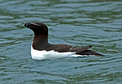 Razorbill photographed at Herm [HER] on 30/5/2012. Photo: © Mike Cunningham