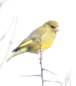 Greenfinch photographed at Pleinmont [PLE] on 3/6/2012. Photo: © Dave Solway