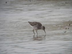 Wood Sandpiper photographed at Claire Mare [CLA] on 5/6/2012. Photo: © Mark Guppy