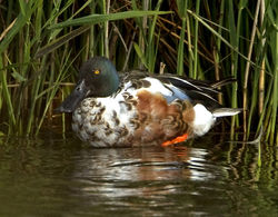 Shoveler photographed at Claire Mare [CLA] on 9/6/2012. Photo: © Mike Cunningham