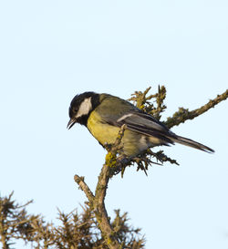 Great Tit photographed at L'Ancresse [LAN] on 9/6/2012. Photo: © Allan Phillips