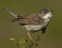 Whitethroat photographed at Pleinmont [PLE] on 13/6/2012. Photo: © Mike Cunningham