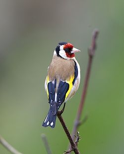 Goldfinch photographed at Moulin Huet [MOU] on 9/7/2012. Photo: © Royston Carr�