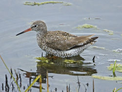 Redshank photographed at Vale Pond [VAL] on 13/7/2012. Photo: © Mike Cunningham