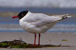 Mediterranean Gull photographed at Vazon [VAZ] on 11/7/2012. Photo: © Dan Scott