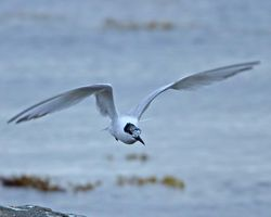 Sandwich Tern photographed at Grandes Havres [GHA] on 18/7/2012. Photo: © Mike Cunningham