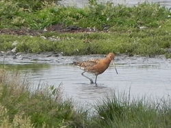 Black-tailed Godwit photographed at Colin Best NR [CNR] on 18/7/2012. Photo: © Tony Bisson
